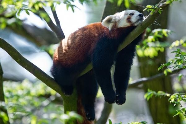 Panda mais preguiçoso do zoológico descansa em árvore na Alemanha