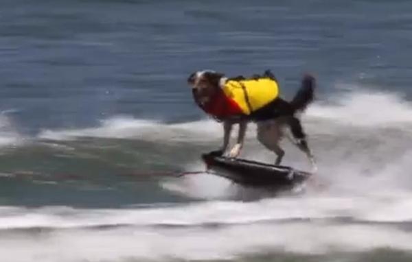 Cão manobrista anda de patinete, surfa e dá saltos incríveis em vídeo