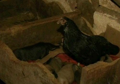 Galinha chocadeira adota cachorros que nasceram ao lado do ninho