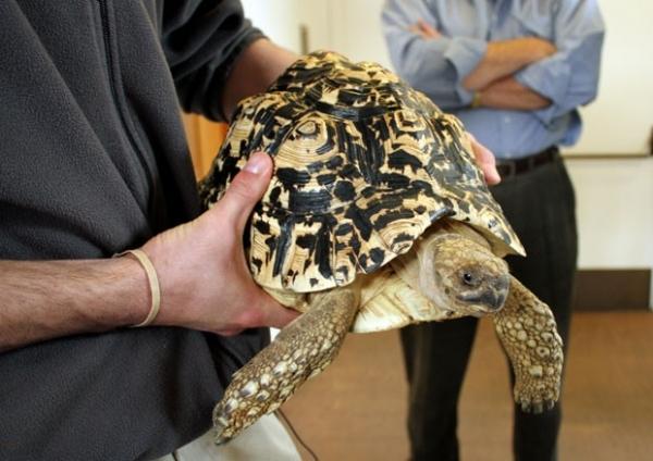 Tartaruga-leopardo é encontrada em elevador após ser roubada de museu
