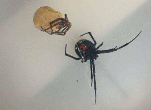 Viúva-negra é capturada na Escócia após ser achada em carregamento