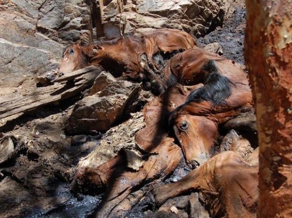 Região australiana quer abater 10 mil cavalos para evitar
