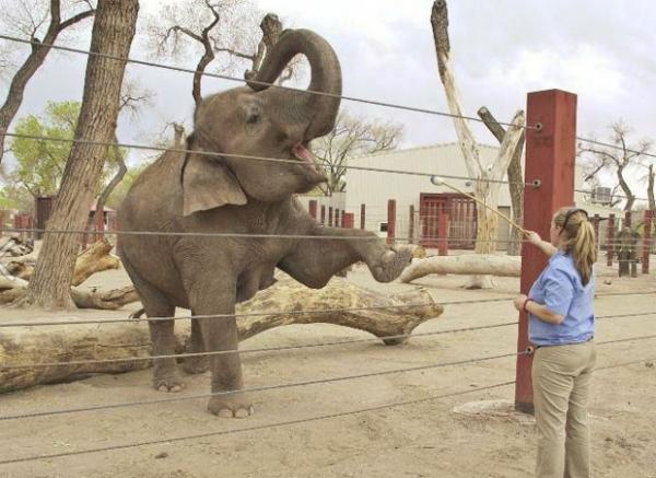 Elefanta grávida faz