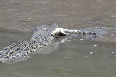 Crocodilo come outro em raro flagrante de canibalismo em rio na Austrália; veja imagens!