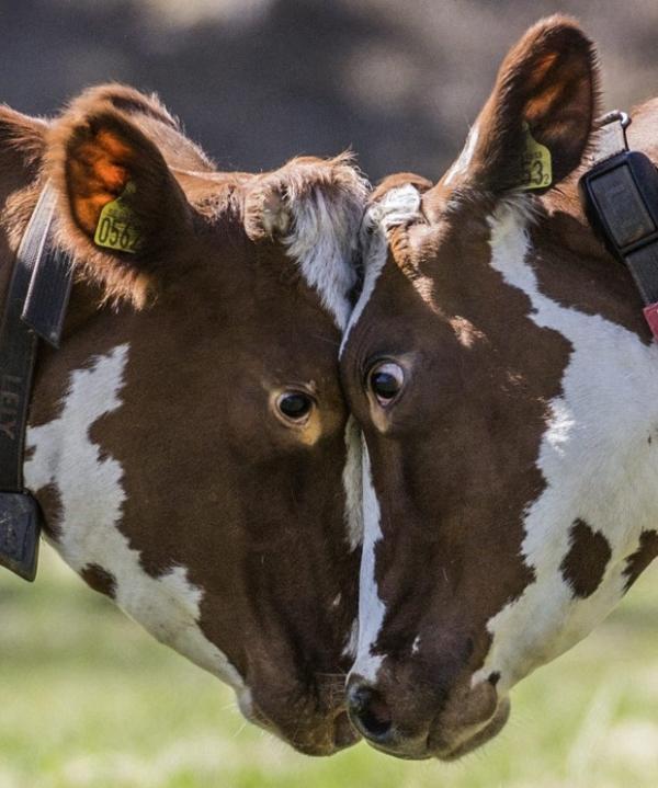 Vacas dão encarada