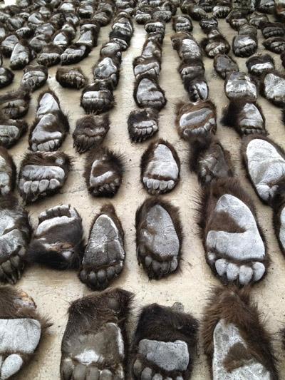 Centenas de patas de urso para sopa são apreendidas na China
