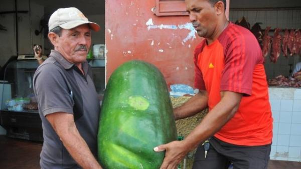 Pepino gigante chama atenção em feira e vira atração no Maranhão; foto