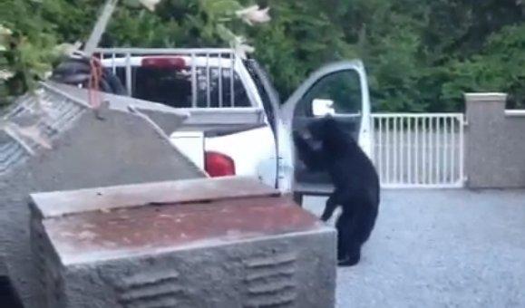 Urso faminto ataca caminhonete em uma cidade do Canadá; veja!