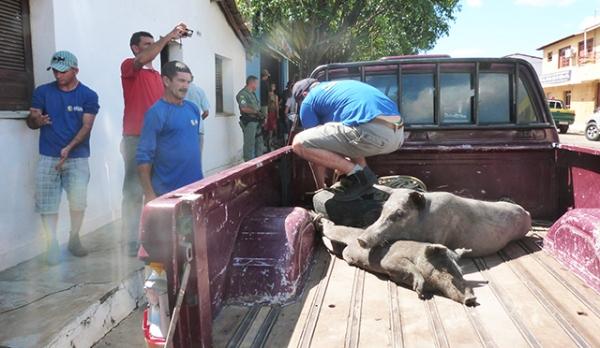 Vigilância sanitária recolhe porcos da zona urbana após denuncia de vizinhos
