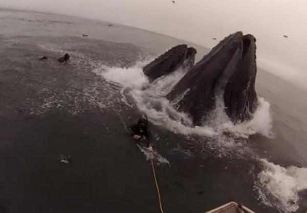 Mergulhadores levam susto ao serem quase engolidos por baleias famintas