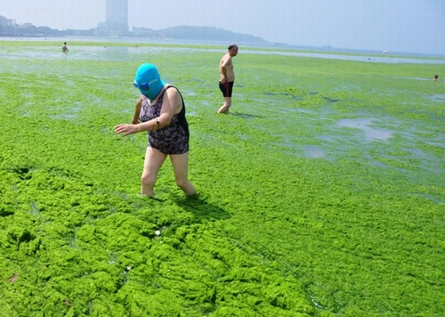Invasão de 20 mil toneladas de algas transforma praia em mar verde