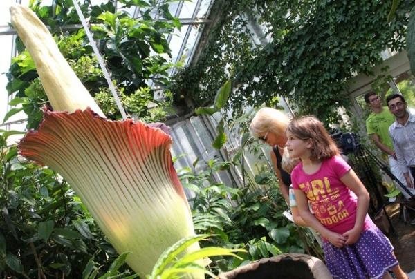 Flor-cadáver atrai visitantes pelo tamanho e mau cheiro na Bélgica
