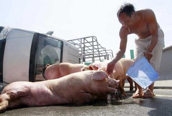 Porcos fogem correndo com calor em estrada após van capotar na China