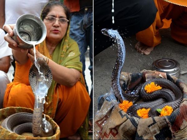 Indianos dão banho de leite em cobras durante ritual hindu