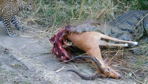 Leopardo faminto disputa presa com crocodilo em Parque Nacional na África; confira fotos!