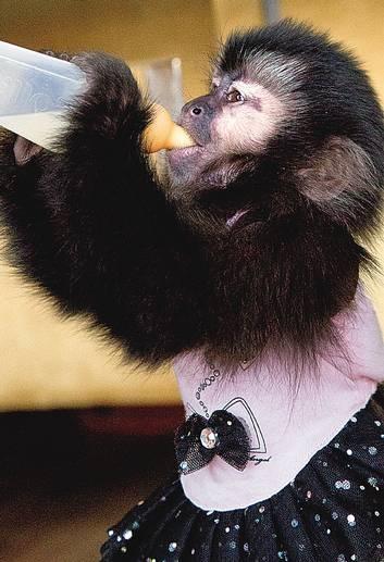 Carioca cria macaca em duplex com direito a cochilo em rede e mamadeira