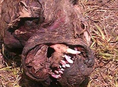 Chupa-cabra? Homem acha estranha criatura morta nos EUA