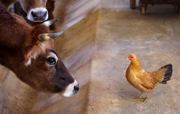 Vaca e galinha trocam encarada após ave