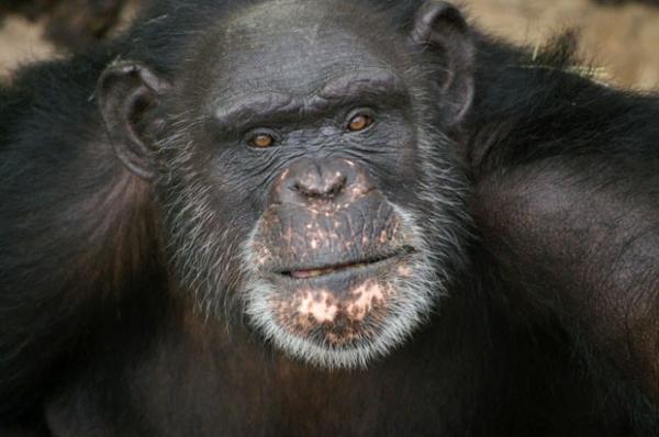 Obra de chimpanzé ganha US$ 10 mil ao vencer concurso de arte nos EUA
