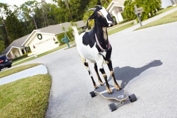 Cabra skatista e cão que anda em corda bamba entram para o Guinness