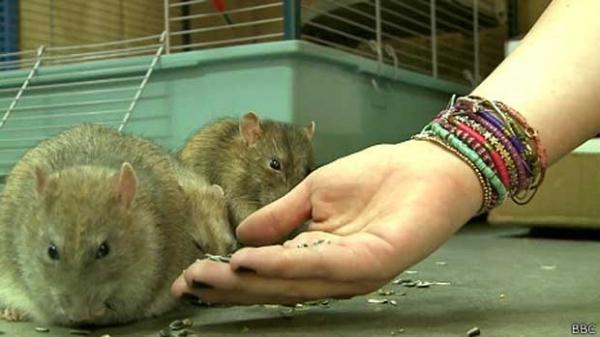 Polícia treina ratos para farejar drogas e explosivos na Holanda