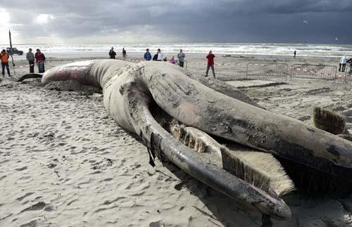 Baleia de 6 metros de comprimento aparece morta em praia da Holanda