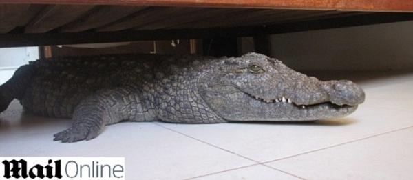 Homem não percebe crocodilo embaixo da cama, e dorme nela