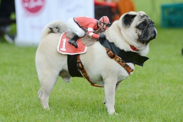 Cão leva jóquei de brinquedo montado durante corrida canina