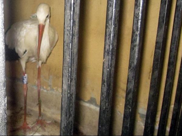 Cegonha é detida pela polícia no Egito por suspeita de espionagem