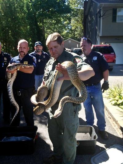 Policiais encontraram 850 cobras de até 2 metros em casa nos EUA