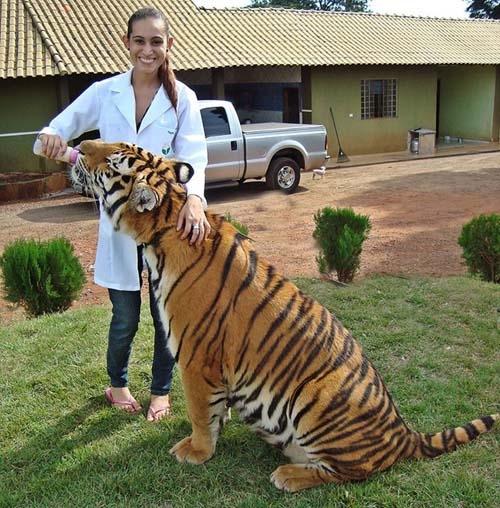 Bebês convivem e até brincam com tigres em família do Paraná; veja fotos