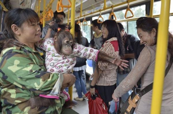 Usando pijama, orangotango faz sucesso ao viajar de ônibus na China