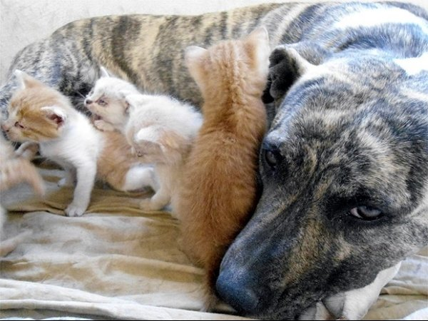Cachorra pit bull adota e amamenta cinco filhotes de gata