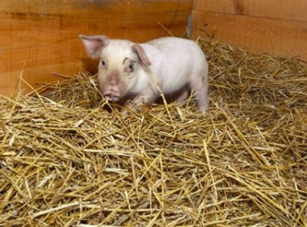 Porquinho é adotado após fugir de caminhão que ia para matadouro