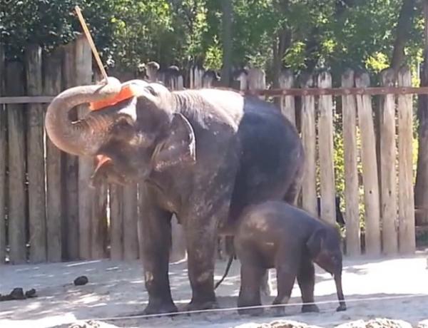 Vídeo mostra elefante usando vassoura para limpar a própria cabeça