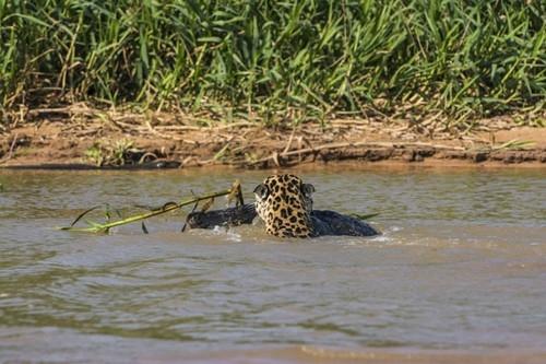 Fotógrafo americano flagra ataque sorrateiro de onça a jacaré durante sua visita ao Pantanal