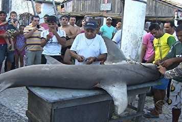Pescadores capturam tubarão-martelo de 3 metros e mais de 200 quilos em praia no Sergipe