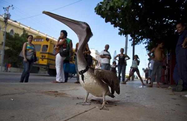 Pelicano é adotado e vira animal de estimação de família em Cuba