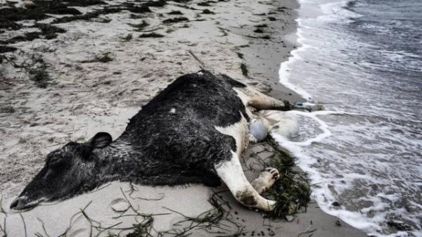 Carcaças de vacas mortas são encontradas em praias da Dinamarca e da Suécia