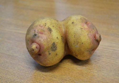 Fazendeiro colhe batatas parecidas com um ?par de seios? no Reino Unido