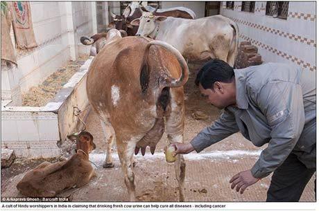 Grupo hindu bebe xixi de vaca na ヘndia para se proteger de todas as doen軋s