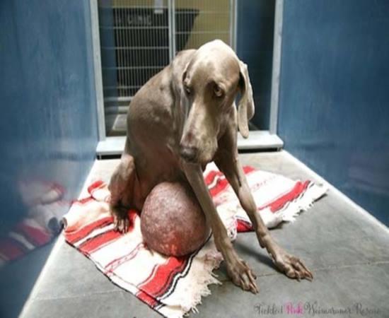 Cachorro abandonado por ter enorme tumor é resgatado de matadouro e sobrevive