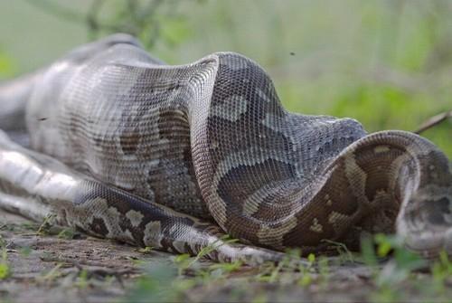 Cobra píton abate antílope e o come por inteiro