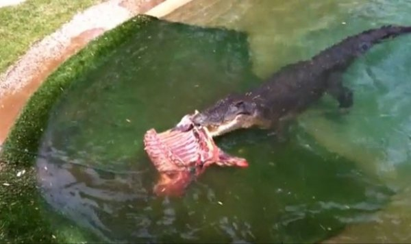 Crocodilo de 6 metros faz 48 anos e ganha banquete na Austrália