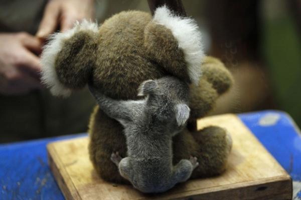 Filhote de coala dá abraço generoso em
