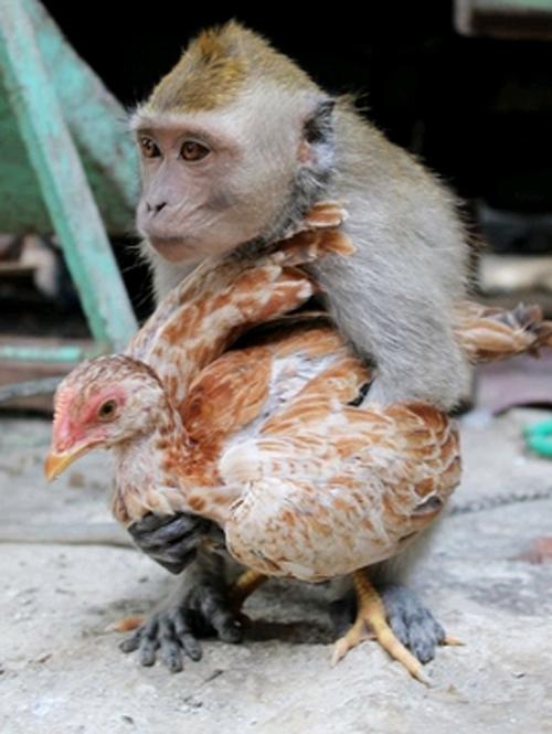 Imagem de macaco apaixonado por galinha faz sucesso na internet