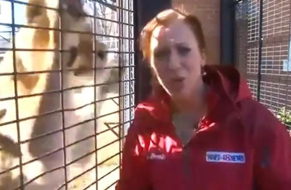 Repórter nos EUA não percebe leoa se aproximando e leva susto ao vivo