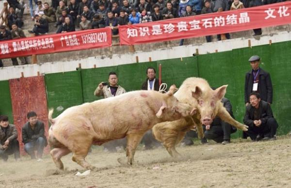 Com est疆io lotado, chineses promovem lutas envolvendo porcos