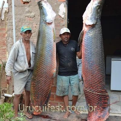 Peixes gigantes são pescados no rio Parnaíba e chamam atenção em Uruçuí