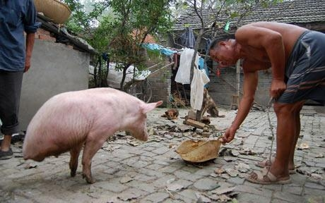Porquinha nasce com apenas duas patas e vira celebridade na China